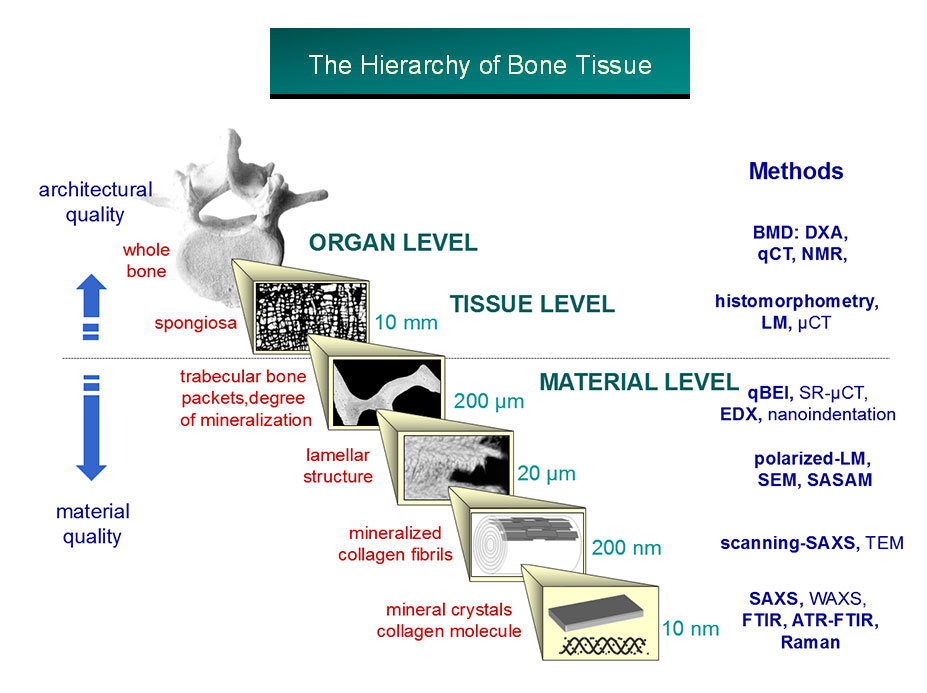 hierarchy of bone tissue